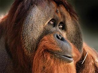 orangutan-The Indy Channel-29935781_22867_ver1.0_320_240